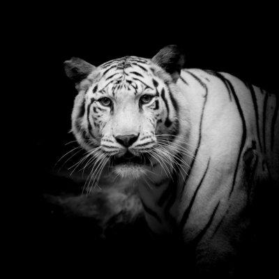 Fototapeta Black & White Tiger