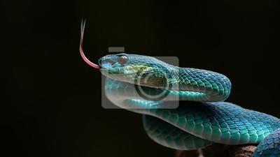 Fototapeta Błękitna jamy żmija od Indonesia