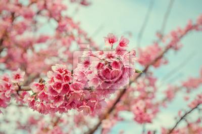 Fototapeta Bliska Sakura Cherry Blossom, wiosna, styl vintage.