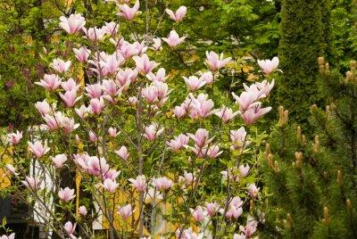 Fototapeta Blooming drzewa magnolia. Wiosna w Moskwie.
