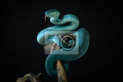 Fototapeta blue insularis pit viper