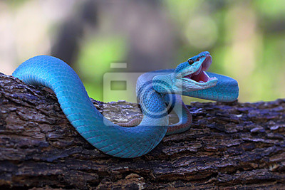 Fototapeta blue insularis pit viper snake, trimeresurus albolabris, venomous snake