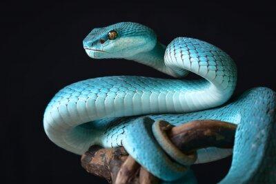 Fototapeta Blue Insularis Snake