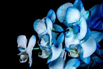 Fototapeta Blue Orchid