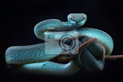 Fototapeta Blue viper Insularis