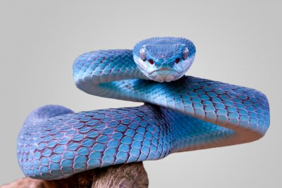Fototapeta Blue viper snake closeup face, viper snake, blue insularis, Trimeresurus Insularis