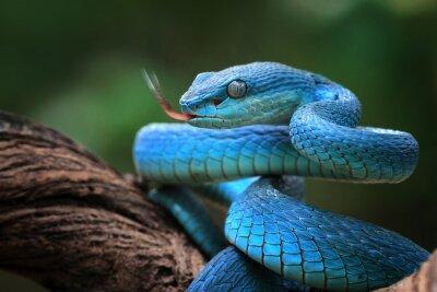 Fototapeta Blue viper snake closeup face, viper snake, blue insularis, Trimeresurus Insularis, animal closeup