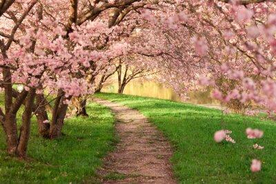 Fototapeta Blühende Kirschbäume jestem Wegesrand