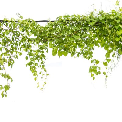 Fototapeta Bluszcz zielony z liściem na białym tle izolowania