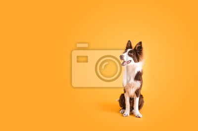 Fototapeta Border Collie Dog on Isolated Yellow Colored Background