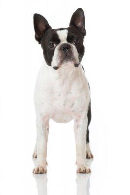 Fototapeta Boston Terrier