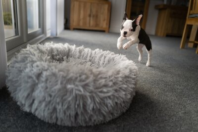 Fototapeta Boston Terrier puppy leaping, playing into a soft fluffy dog bed. She is indoor in a carpeted room.