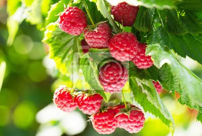 Fototapeta branch of ripe raspberries in a garden