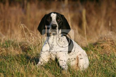 Fototapeta Braque d' Auvergne leżącego w trawie na wsi