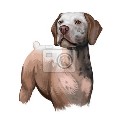 Fototapeta Braque du Bourbonnais dog breed isolated on white background digital art illustration. Gundog rustic appearance with short tail, portrait of realistic carnivore dog for web print design, friendly pet.