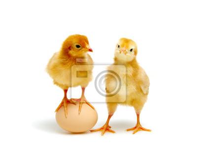 brązowe jaja i pisklęta