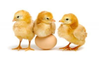 brązowe jaja i pisklęta na białym tle