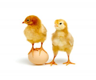 brązowe jajko i pisklęta