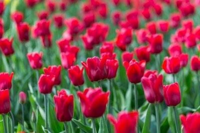 Fototapeta bright flowering colorful flowers tulips in garden