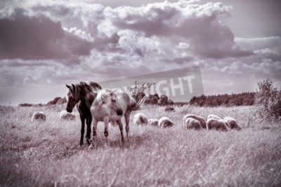 Fototapeta Brown and white horses and sheep grazing on the meadow. Vintage effect