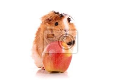 brown cavy i czerwone jabłko na białym tle