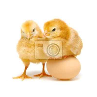 brown egg and chicks isolated on a white