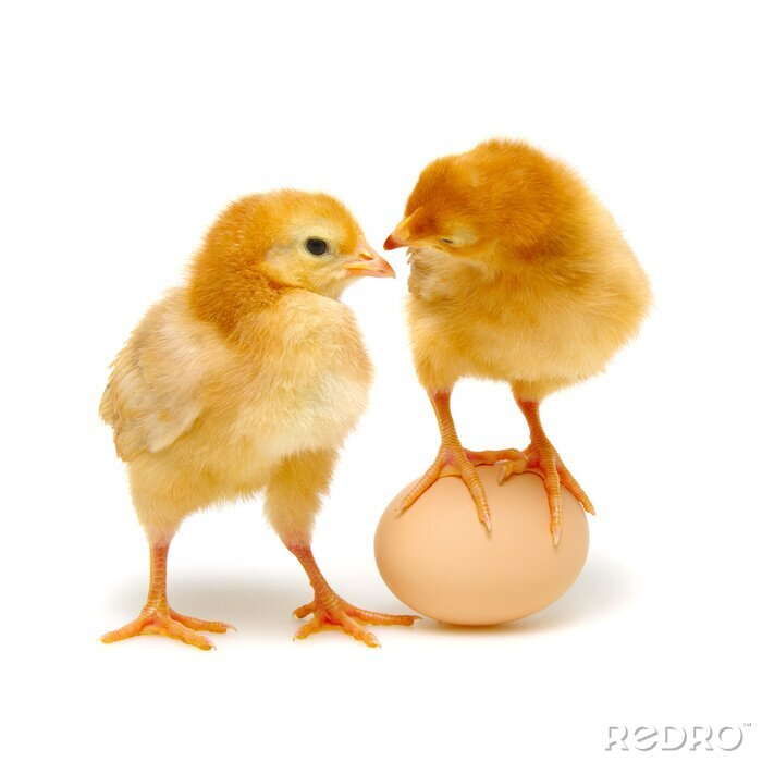 Fototapeta brown egg and chicks isolated on a white