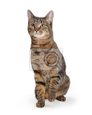 Fototapeta Brown Tabby Cat Lifting Paw