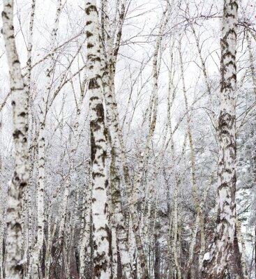 Fototapeta Brzoza drzew pokryte szronem