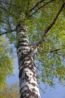 Fototapeta Brzoza drzewa na wiosnę