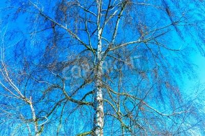 Fototapeta Brzoza drzewa w zimie