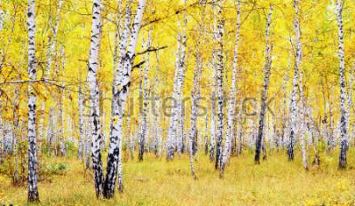 Fototapeta brzoza jesień las