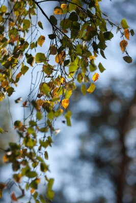 Fototapeta Brzoza jesienią background./ Piękne żółknięcie liści brzozy na oddział przeciw błękitne niebo jesienią.