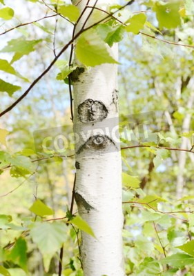 Fototapeta Brzoza kora drzewa