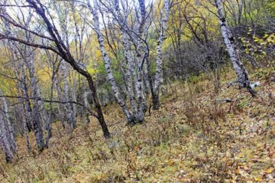 Fototapeta Brzoza pnia drzewa w naturalnym środowisku