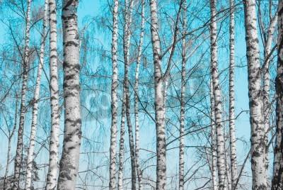 Fototapeta brzozowe pnie drzewa przeciw błękitne niebo