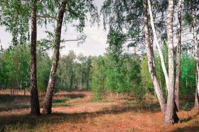 Fototapeta Brzozowy gaj jesienią razy