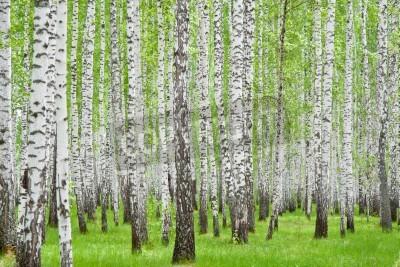 Fototapeta brzozowy las