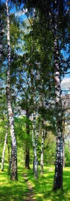 Fototapeta Brzozowy las. Birch Grove. Białe brzozowe pnie