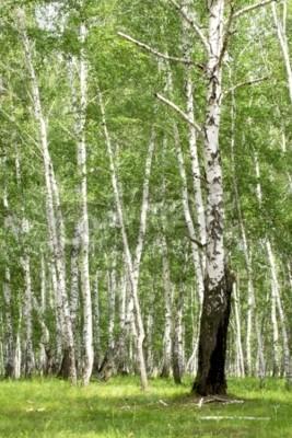 Fototapeta Brzozowy las. Birch Grove. Biały pni brzozy.