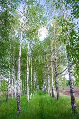 Fototapeta Brzozowy las. Birch Grove. Biały pni brzozy. Wiosna, słoneczny