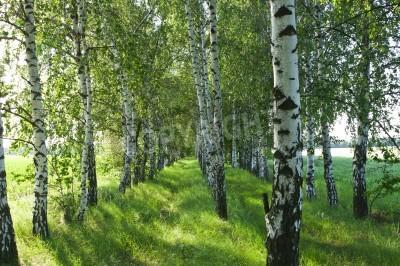Fototapeta Brzozowy las. Birch Grove. Biały pni brzozy. Wiosna słoneczny las.