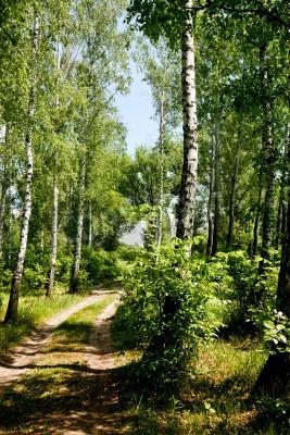 Fototapeta brzozowy las drzew w słoneczny letni dzień