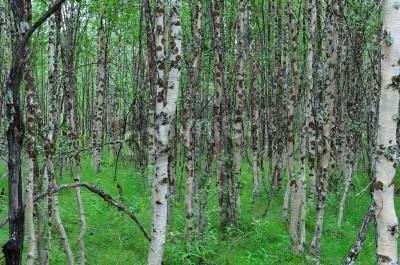 Fototapeta brzozowy las drzewa w lecie