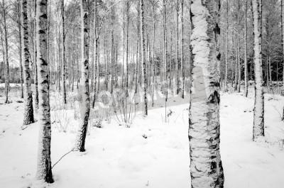 Fototapeta Brzozowy las drzewa w zimie