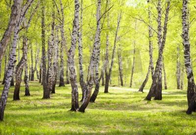 Fototapeta brzozowy las lub park