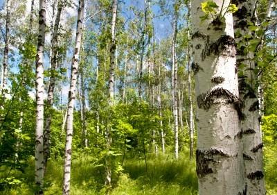 Fototapeta Brzozowy las. Słoneczny letni dzień, zielona trawa i błękitne niebo.