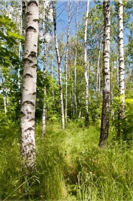 Fototapeta Brzozowy las. Słoneczny letni dzień, zielona trawa i błękitne niebo