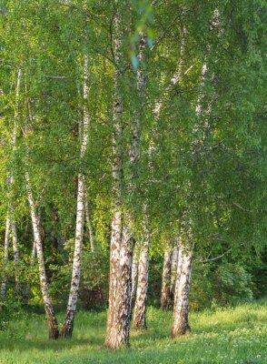 Fototapeta brzozowy las w słońcu