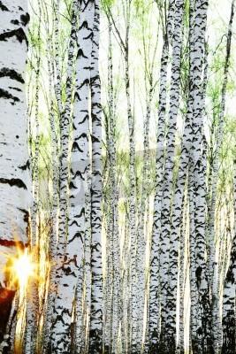 Fototapeta brzozowy las w słońcu w godzinach porannych